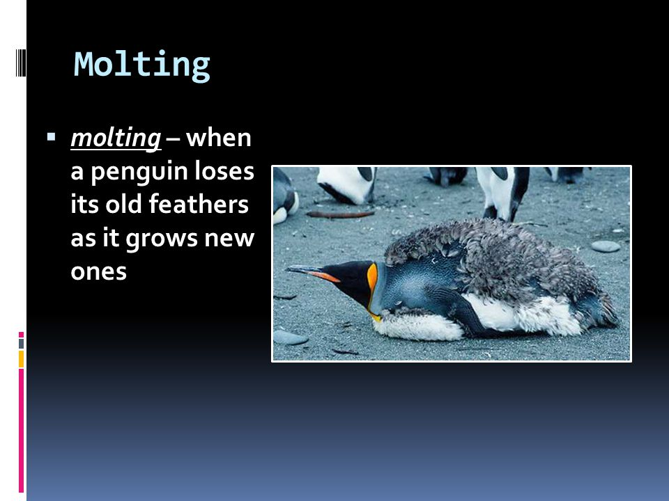 Molting molting – when a penguin loses its old feathers as it grows new ones