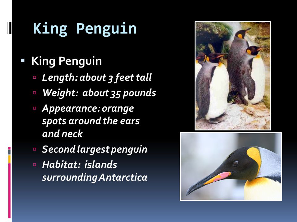 King Penguin King Penguin Length: about 3 feet tall