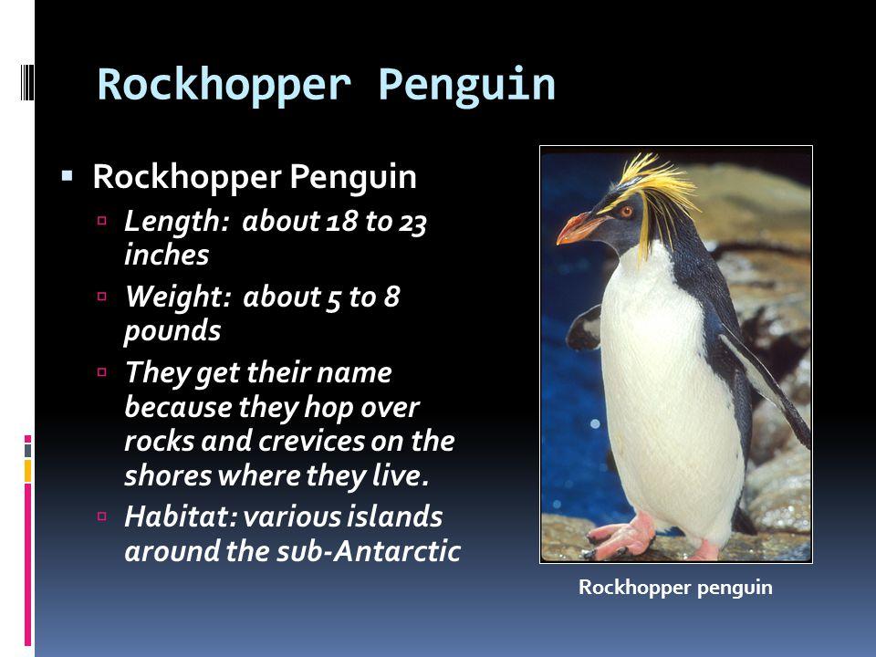Rockhopper Penguin Rockhopper Penguin Length: about 18 to 23 inches