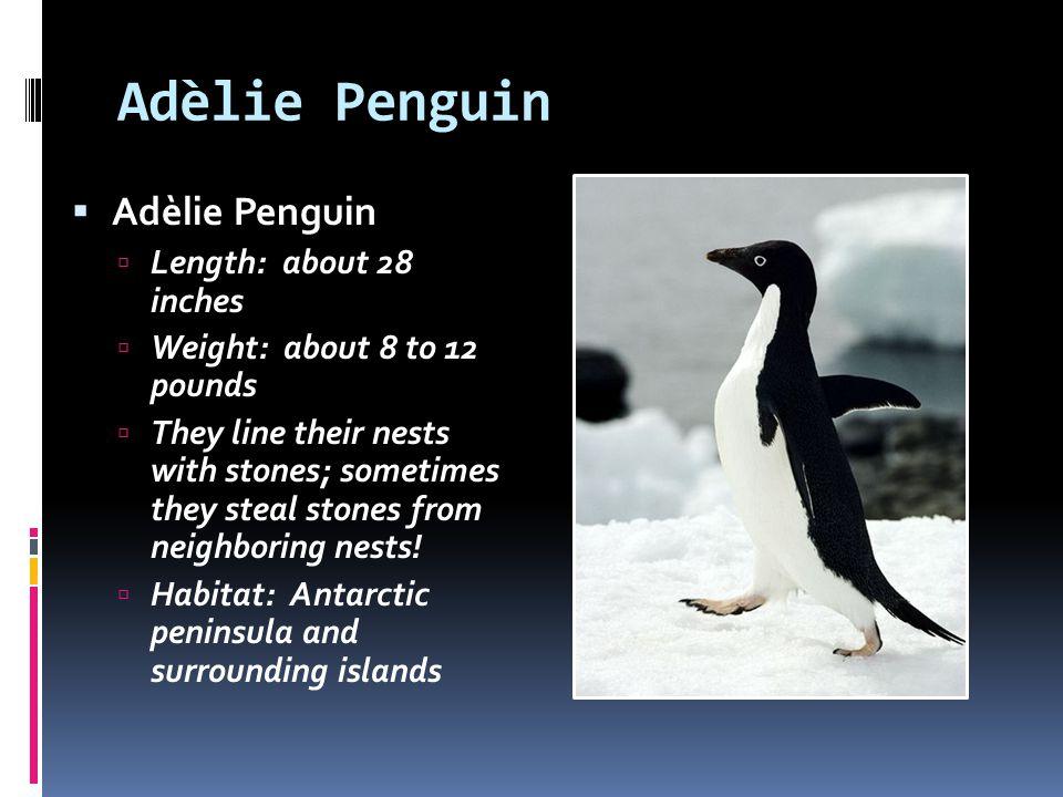 Adèlie Penguin Adèlie Penguin Length: about 28 inches