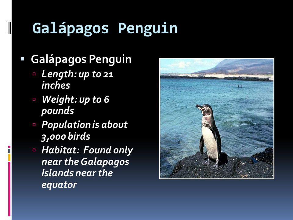 Galápagos Penguin Galápagos Penguin Length: up to 21 inches