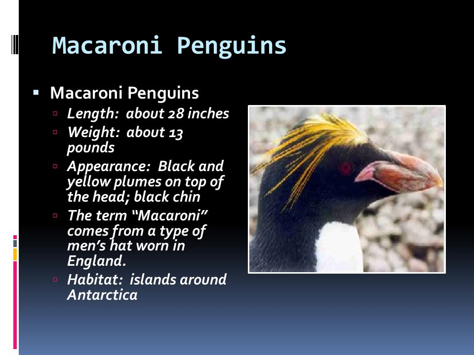 Macaroni Penguins Macaroni Penguins Length: about 28 inches