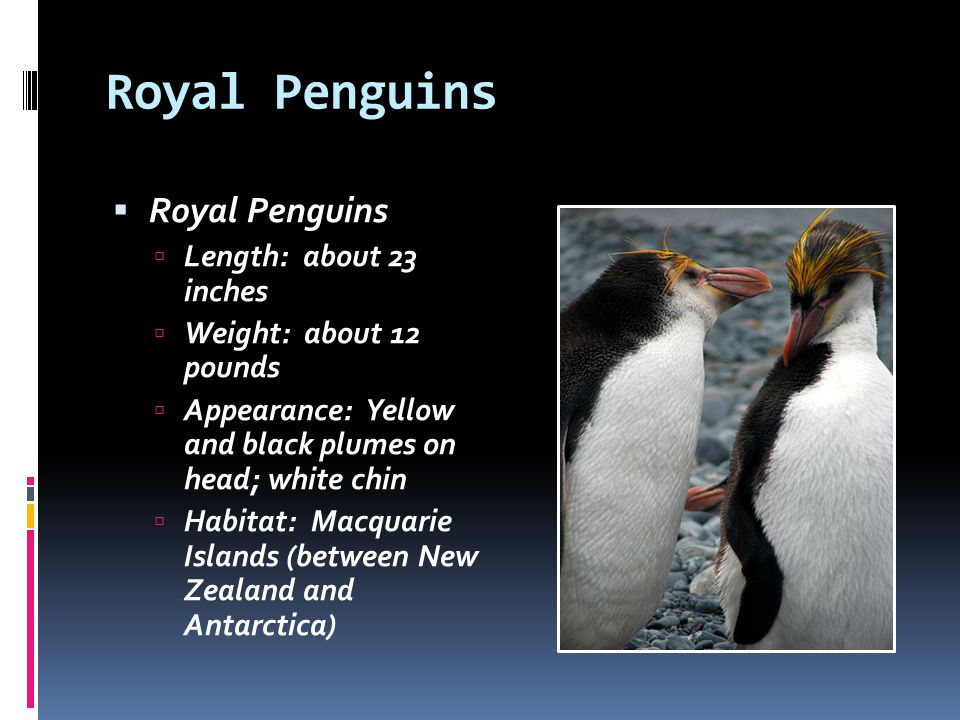 Royal Penguins Royal Penguins Length: about 23 inches