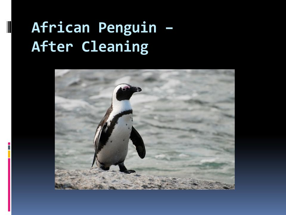 African Penguin – After Cleaning