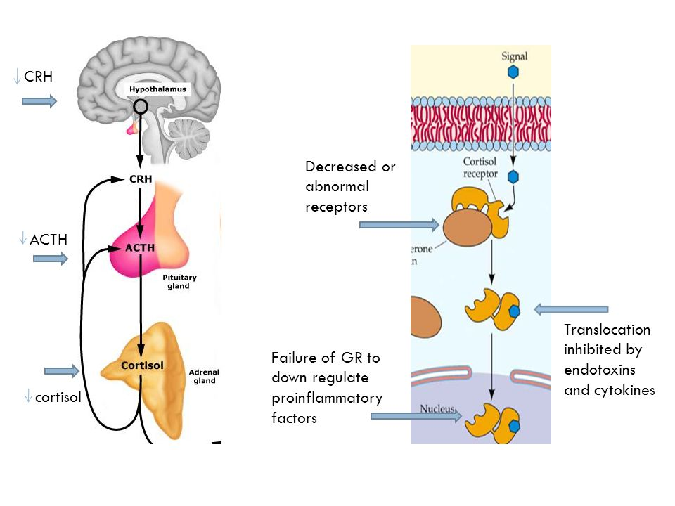 CRH Decreased or abnormal receptors. ACTH. Translocation inhibited by endotoxins and cytokines.
