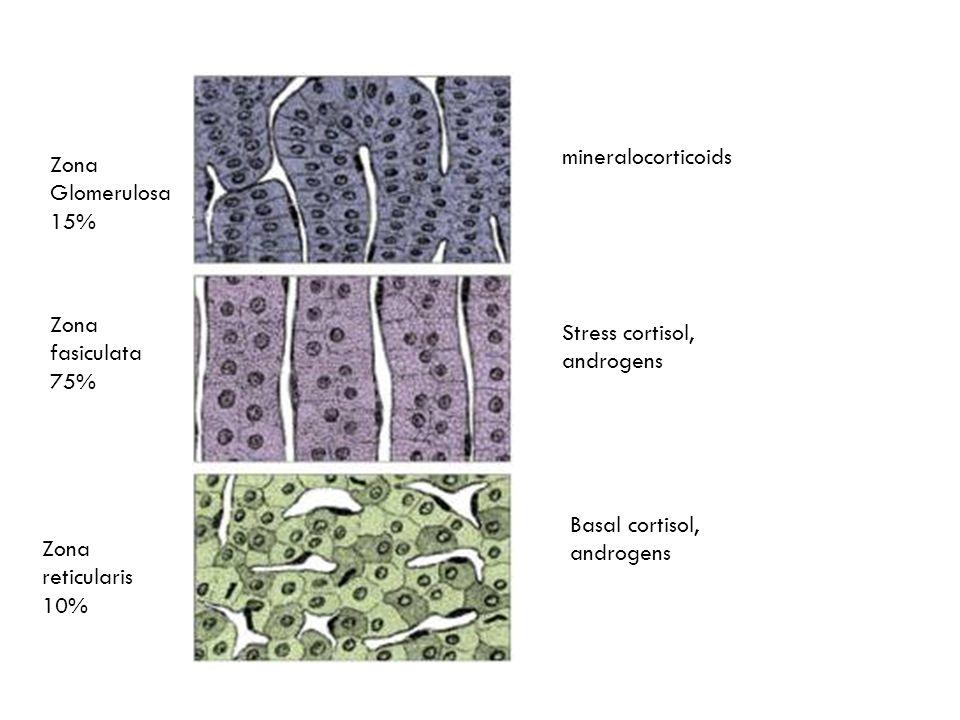 mineralocorticoids Zona Glomerulosa 15% Zona fasiculata 75% Stress cortisol, androgens. Basal cortisol, androgens.