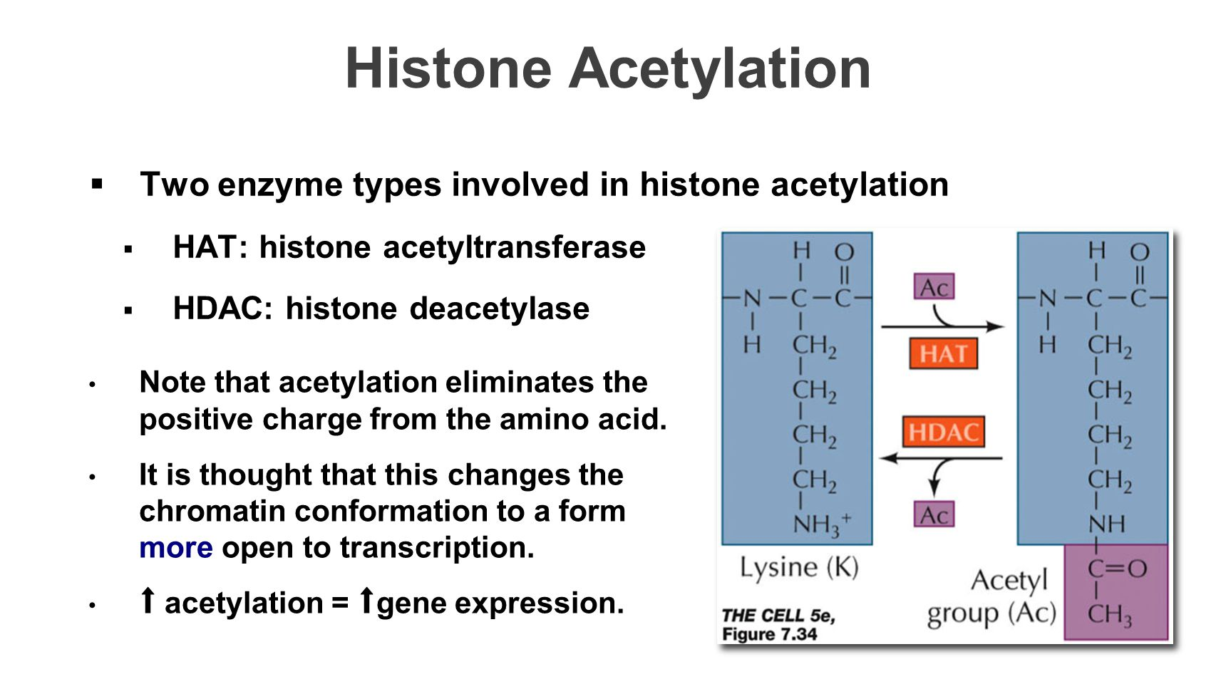 Histone Acetylation Two enzyme types involved in histone acetylation