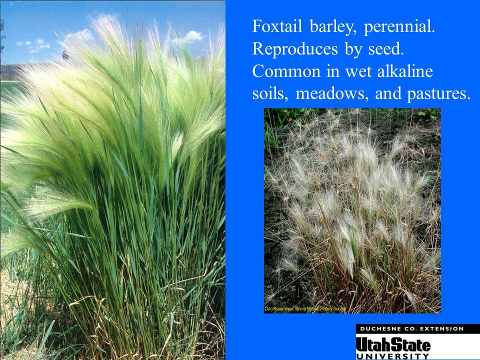 Foxtail barley, perennial.