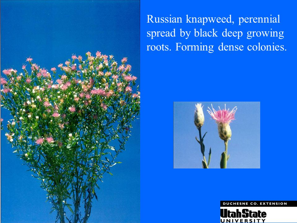 Russian knapweed, perennial