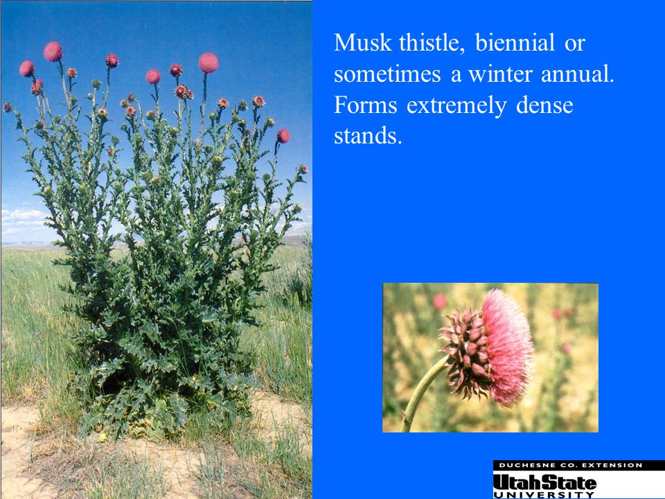 Musk thistle, biennial or sometimes a winter annual.