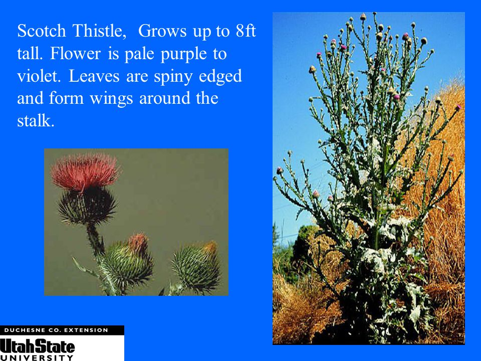 Scotch Thistle, Grows up to 8ft