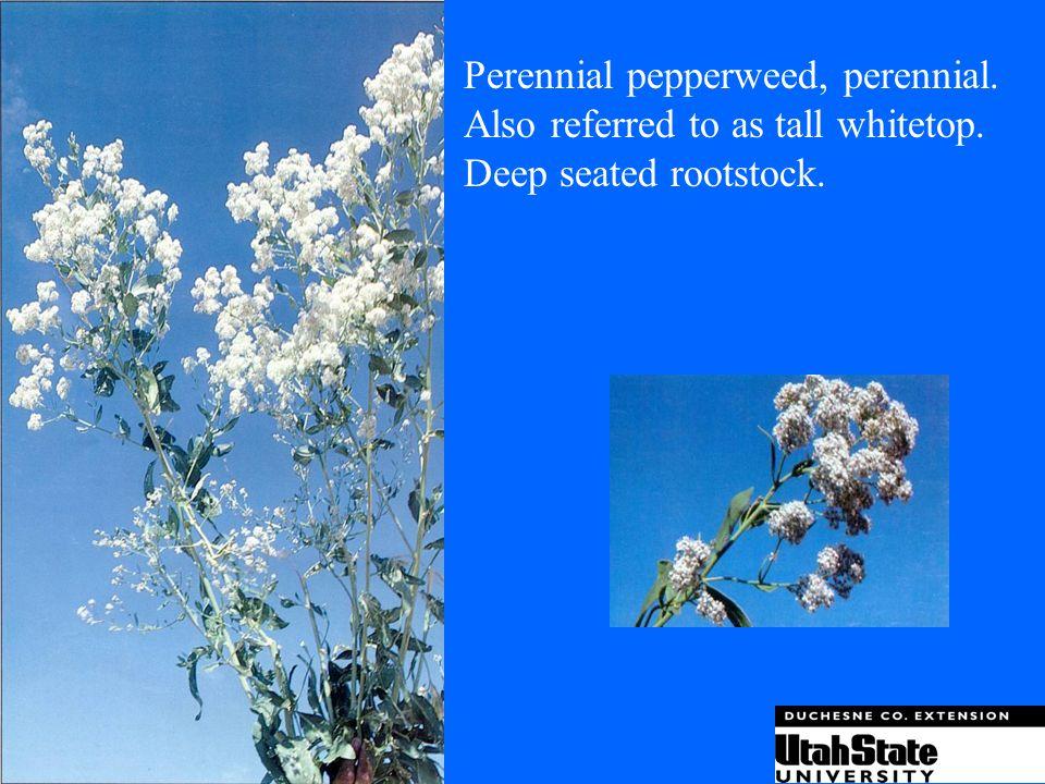 Perennial pepperweed, perennial.