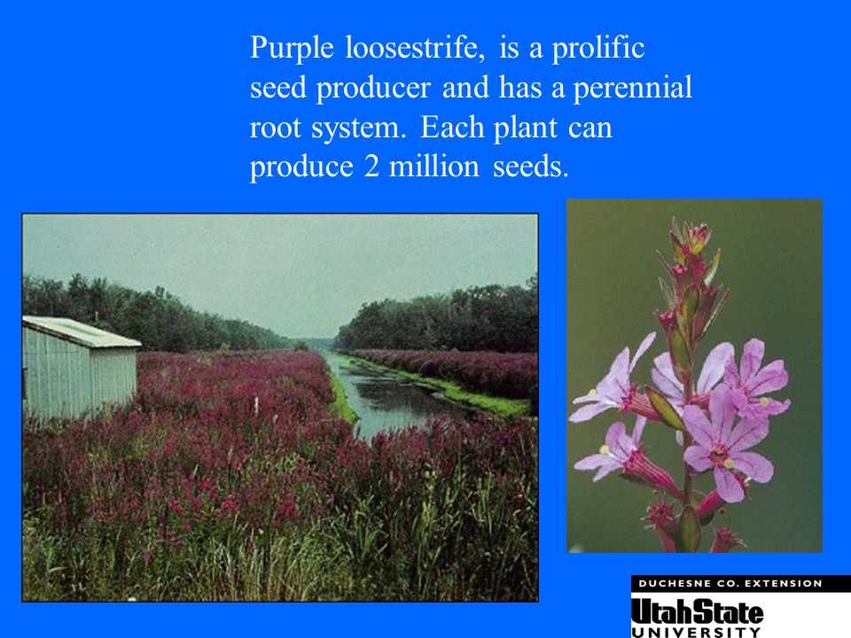 Purple loosestrife, is a prolific