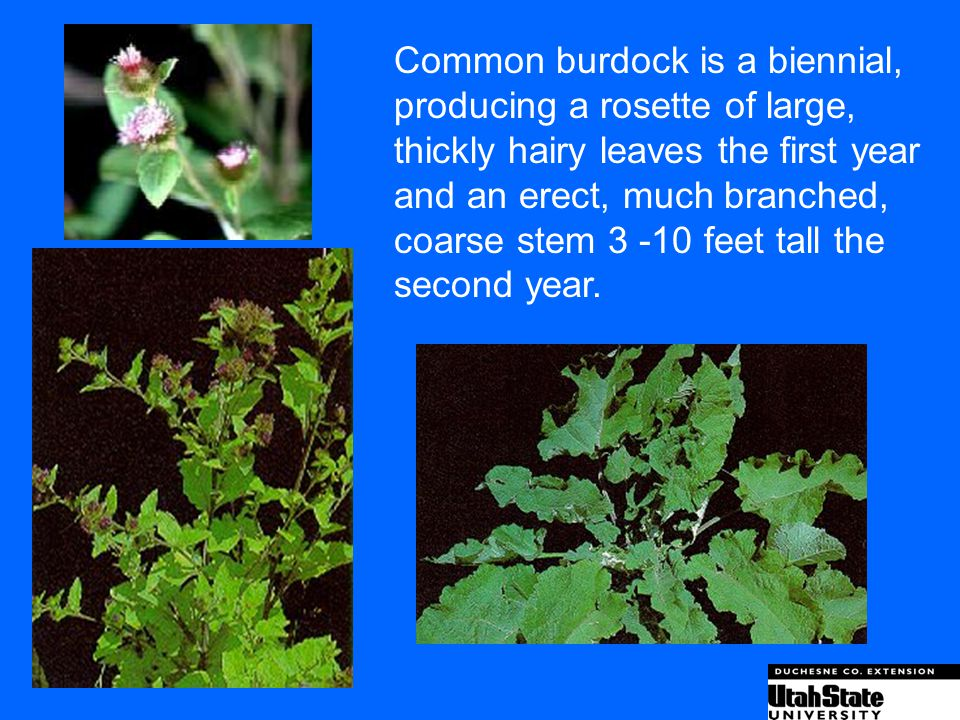 Common burdock is a biennial,