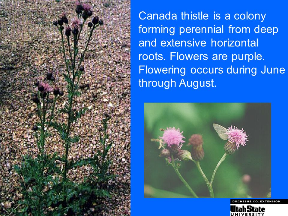 Canada thistle is a colony