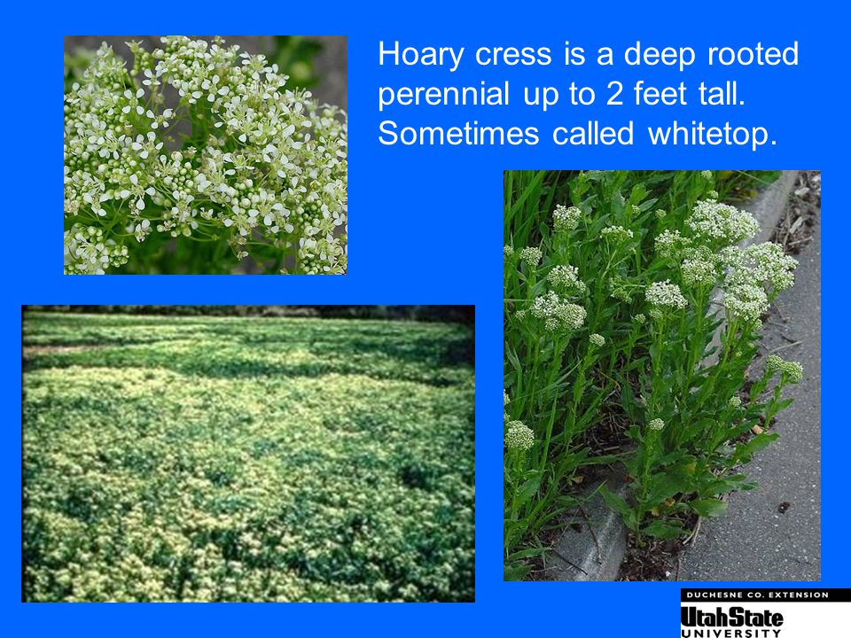 Hoary cress is a deep rooted