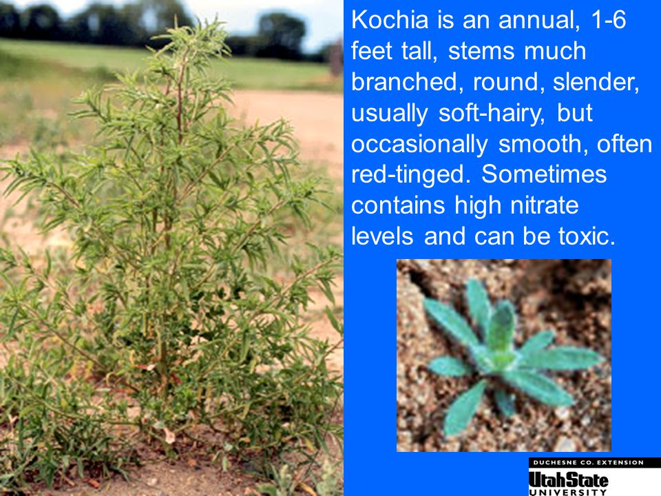 Kochia is an annual, 1-6 feet tall, stems much. branched, round, slender, usually soft-hairy, but.