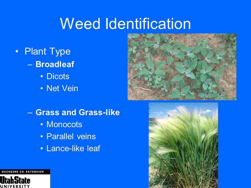 Weed Identification Plant Type Broadleaf Dicots Net Vein