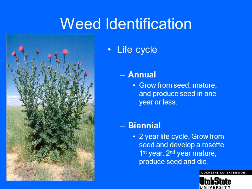 Weed Identification Life cycle Annual Biennial