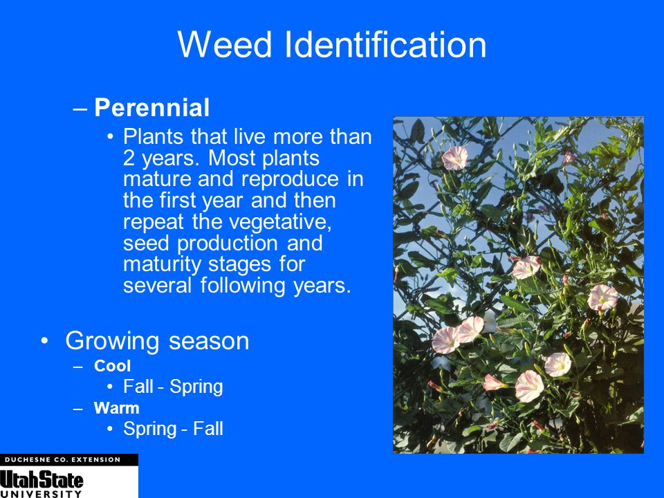 Weed Identification Perennial Growing season