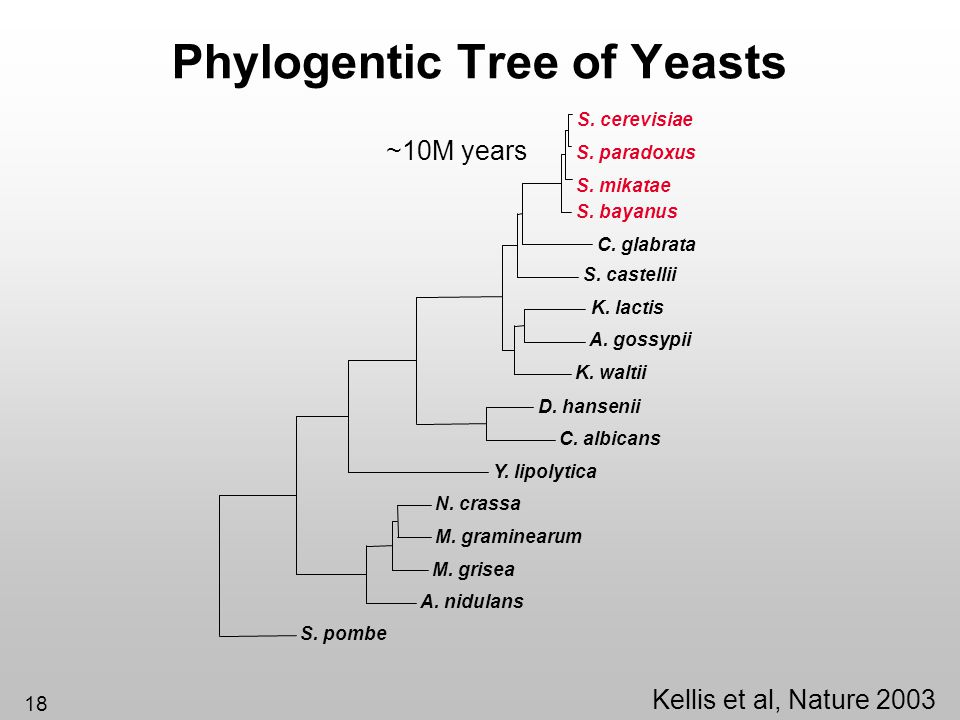 Phylogentic Tree of Yeasts