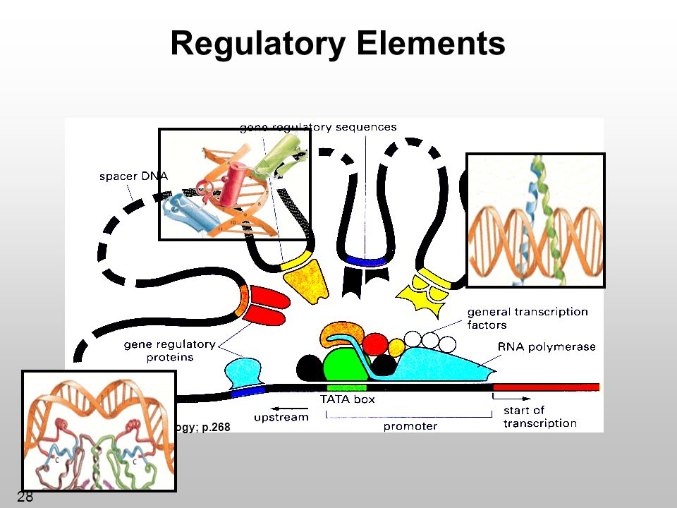 Regulatory Elements *Essential Cell Biology; p.268