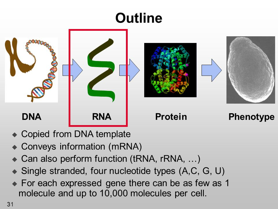 Outline Protein DNA RNA Phenotype Copied from DNA template
