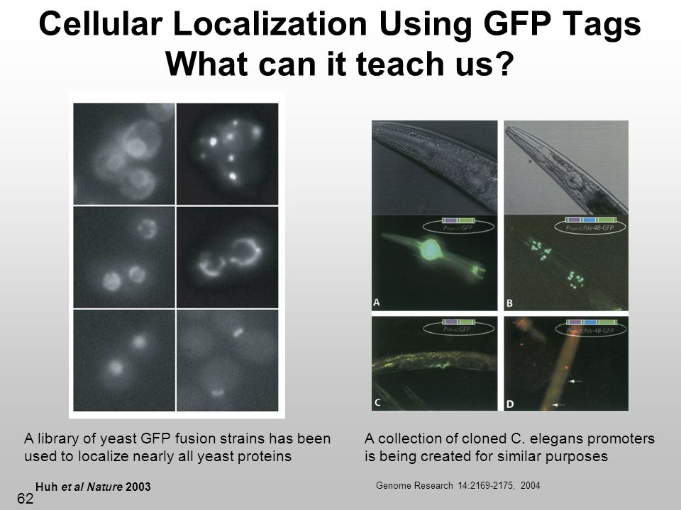 Cellular Localization Using GFP Tags What can it teach us