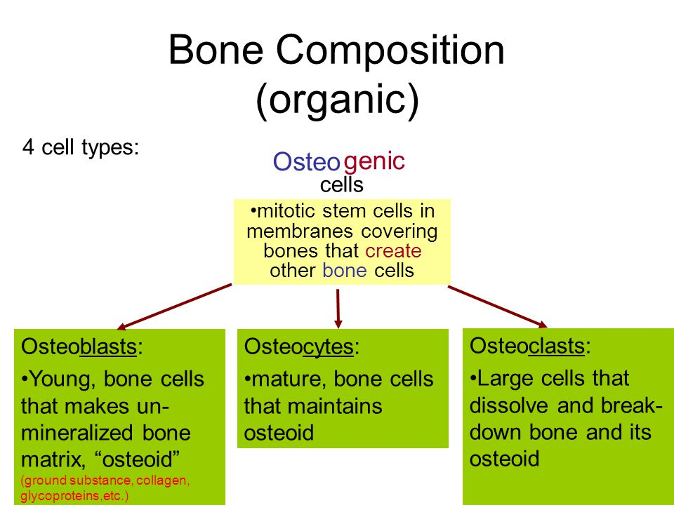 Bone Composition (organic)