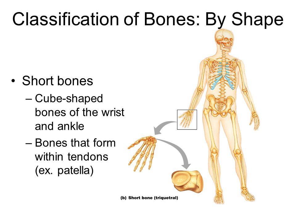 Classification of Bones: By Shape