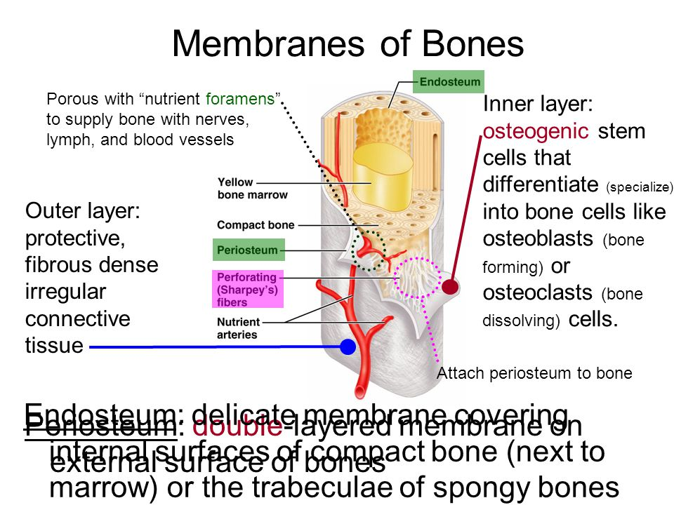 Membranes of Bones Porous with nutrient foramens to supply bone with nerves, lymph, and blood vessels.