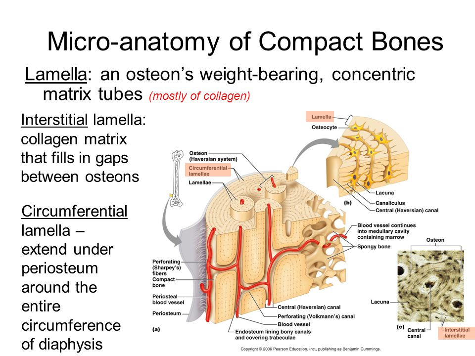 Micro-anatomy of Compact Bones