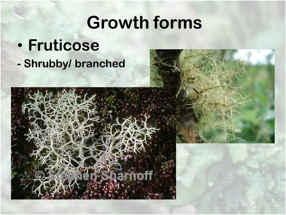 Growth forms Fruticose - Shrubby/ branched
