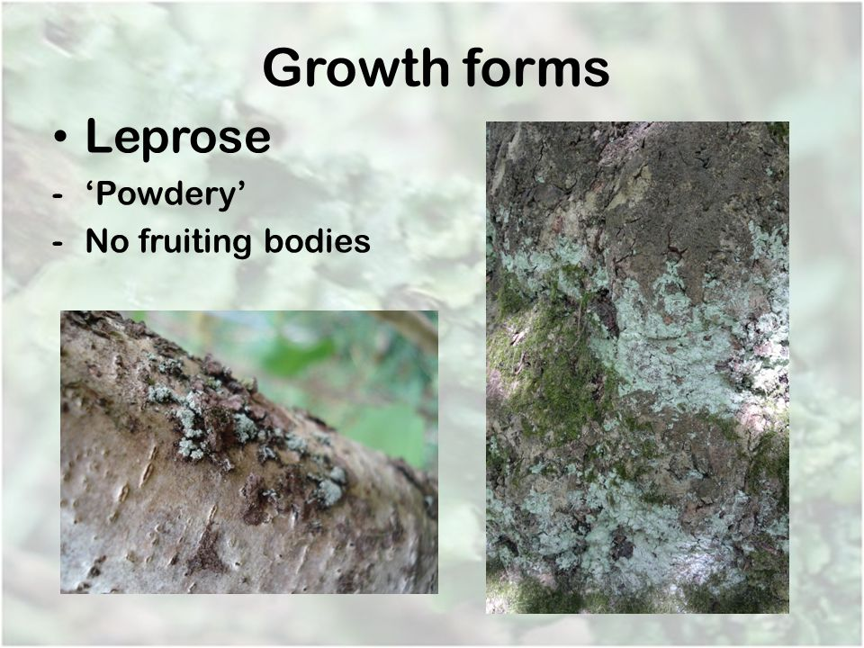 Growth forms Leprose 'Powdery' No fruiting bodies
