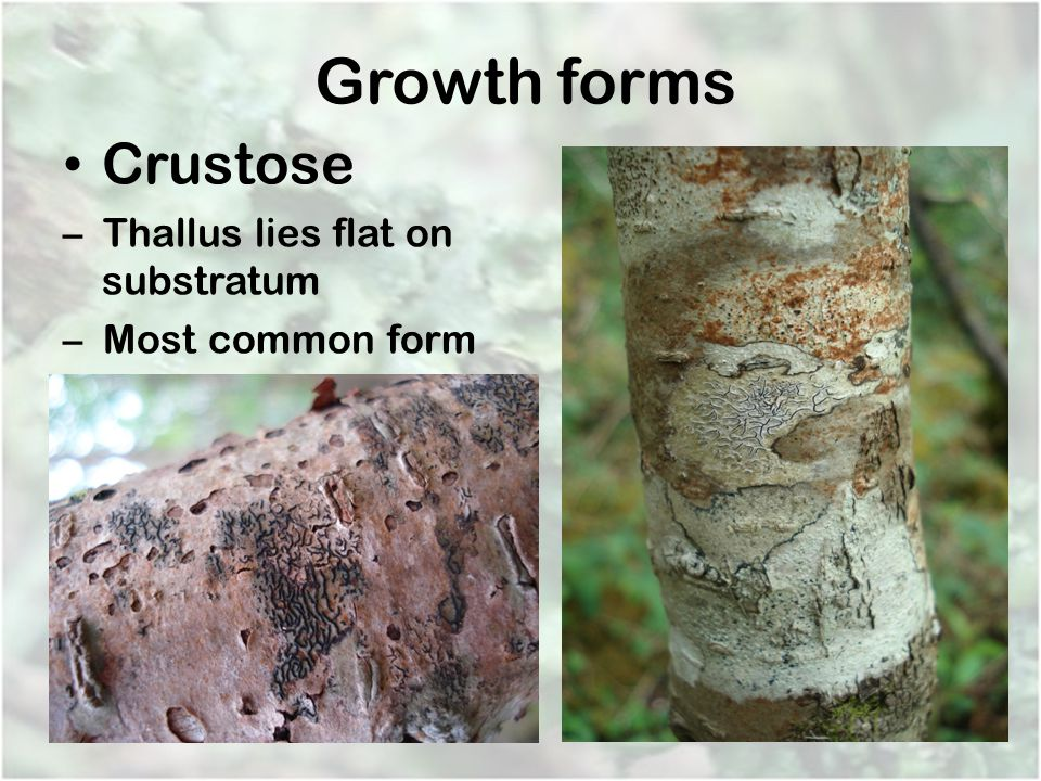 Growth forms Crustose – Thallus lies flat on substratum