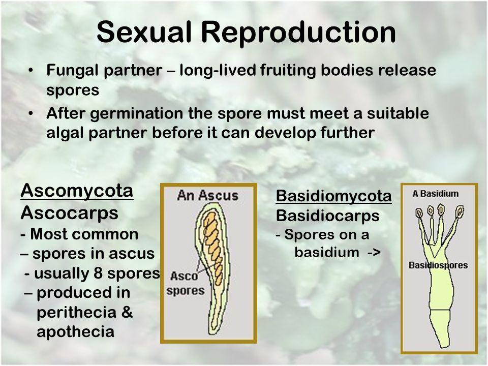Sexual Reproduction Ascomycota Ascocarps