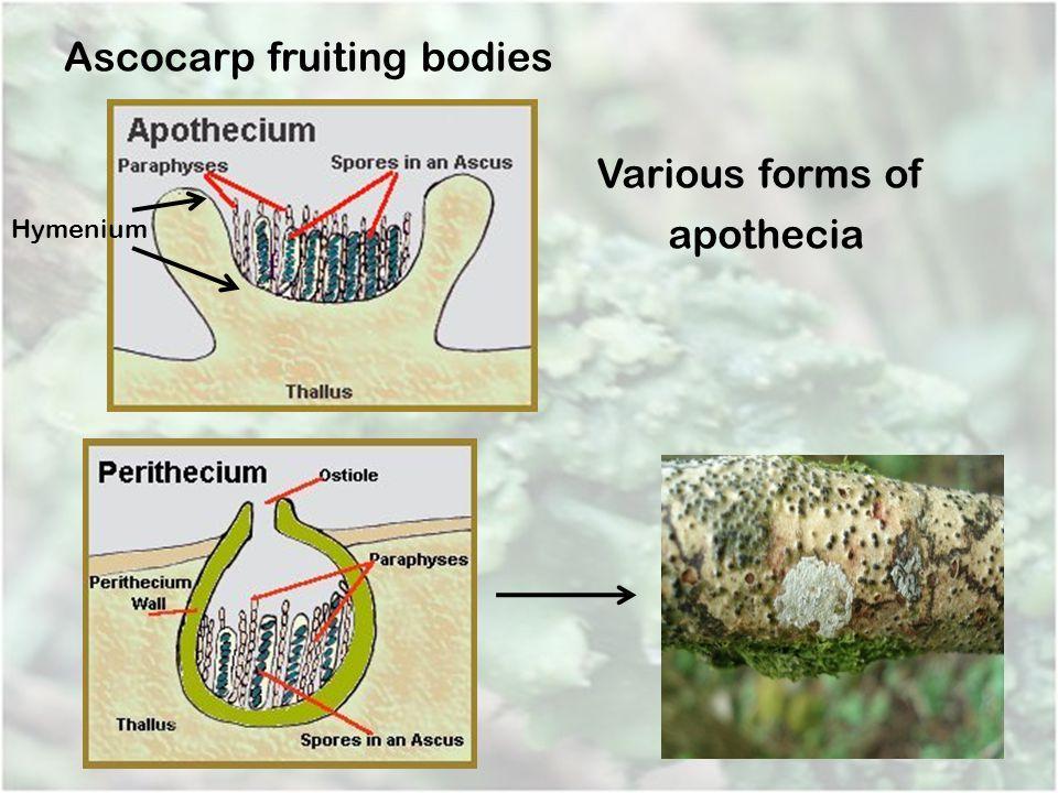 Ascocarp fruiting bodies Various forms of apothecia