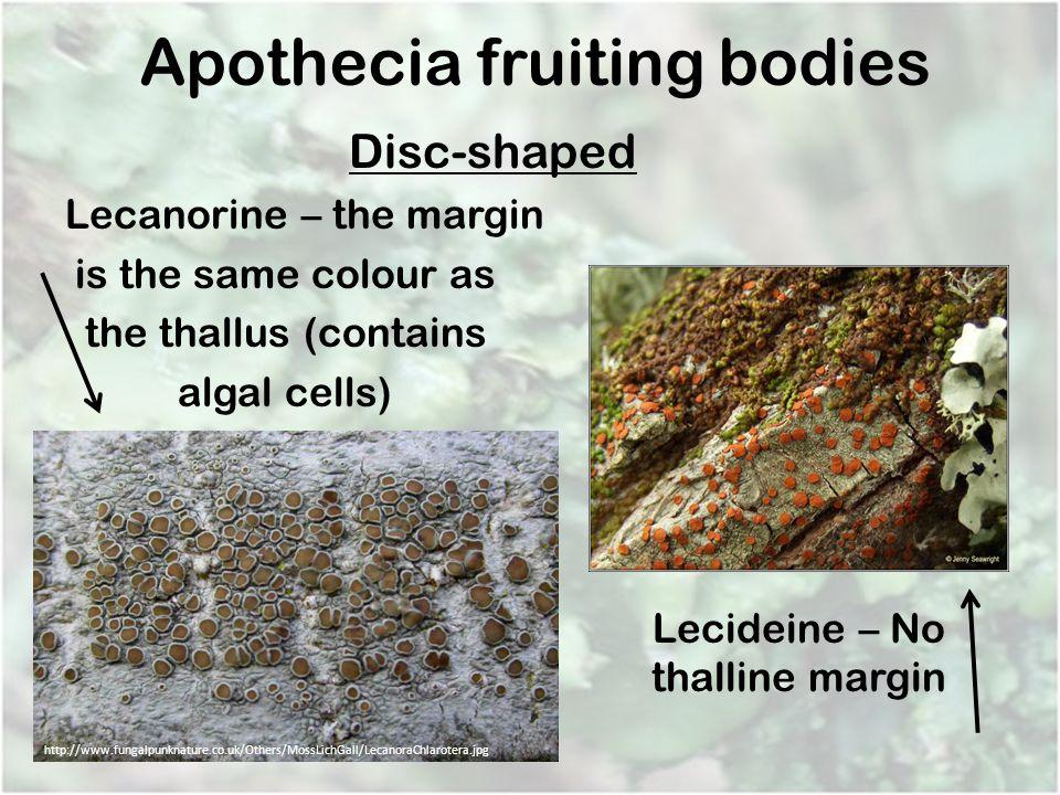 Apothecia fruiting bodies
