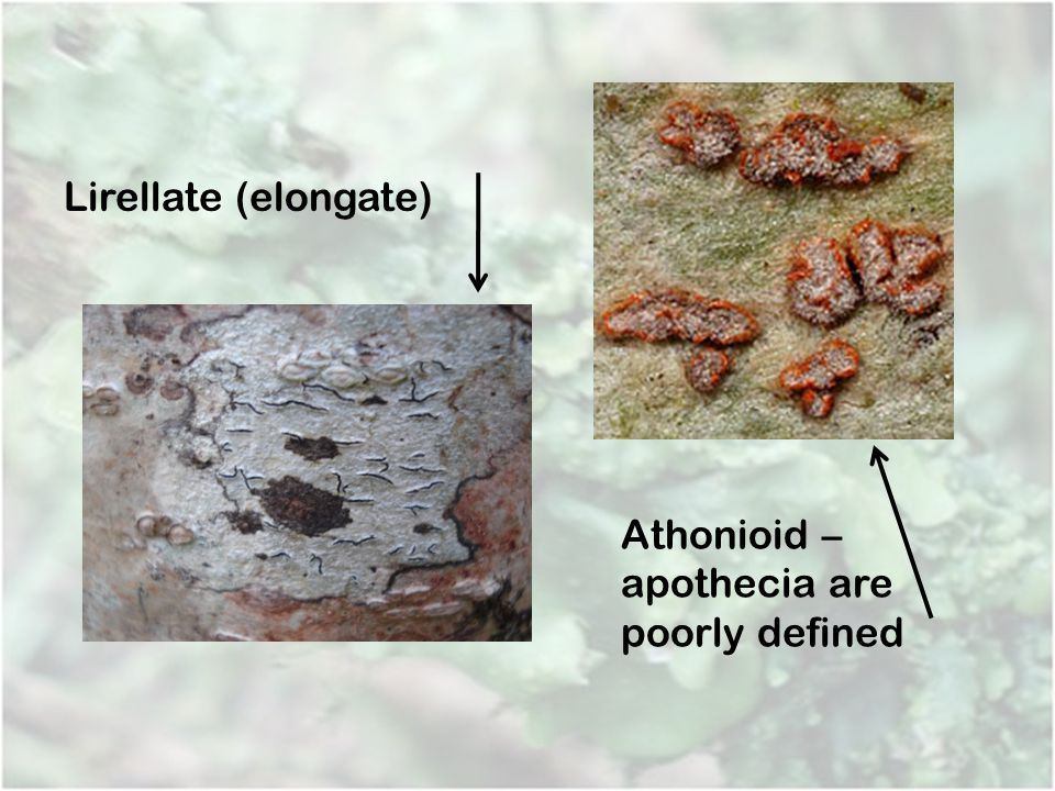 Athonioid – apothecia are poorly defined