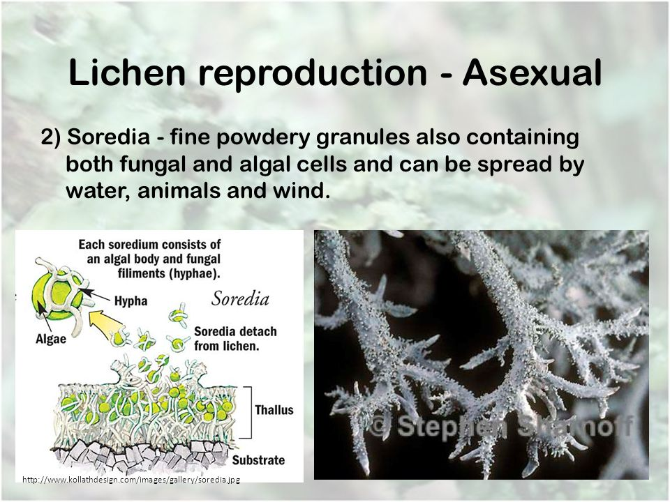 Lichen reproduction - Asexual