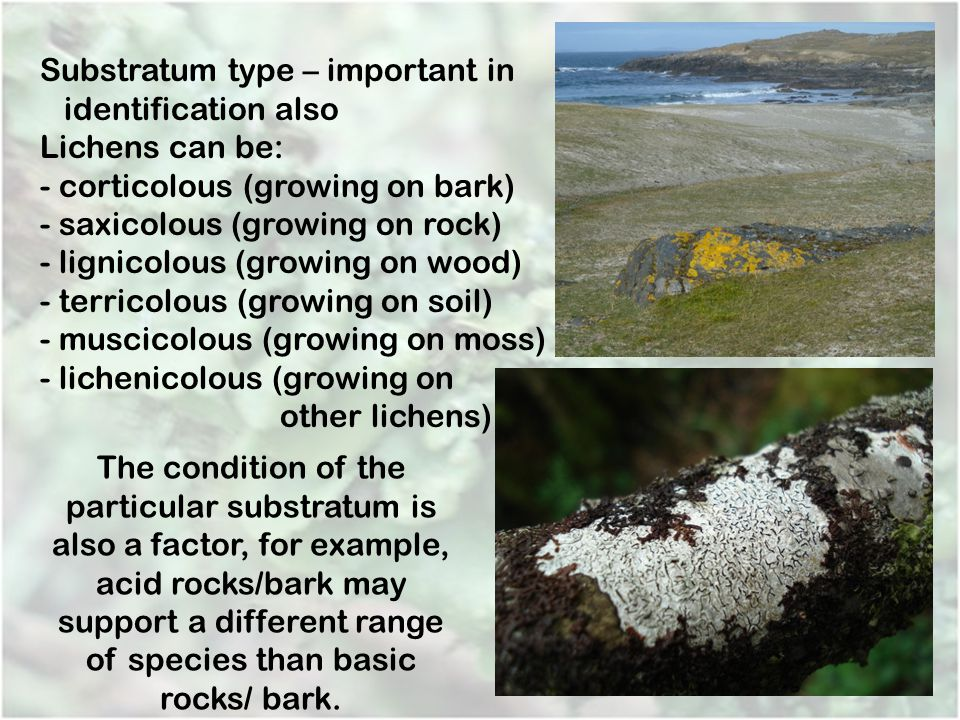 Substratum type – important in identification also Lichens can be:
