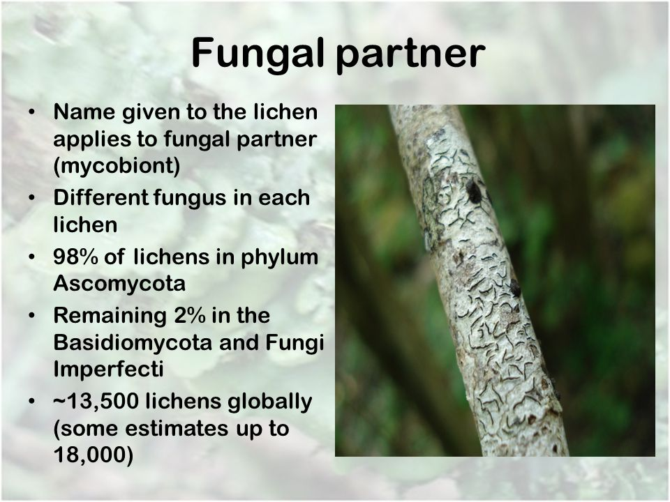 Fungal partner Name given to the lichen applies to fungal partner (mycobiont) Different fungus in each lichen.