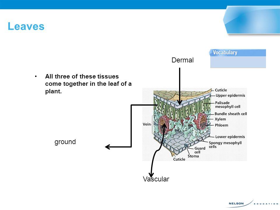 Leaves Dermal ground Vascular