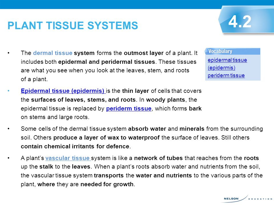 PLANT TISSUE SYSTEMS 4.2.