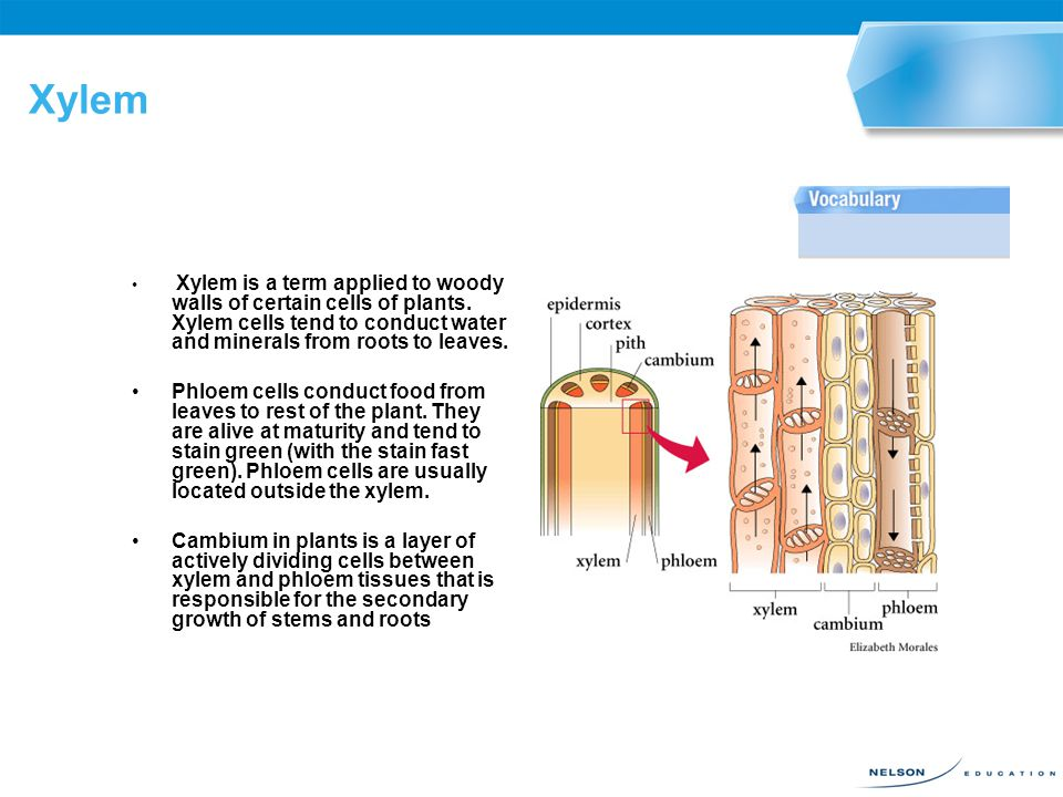 Xylem Xylem is a term applied to woody walls of certain cells of plants. Xylem cells tend to conduct water and minerals from roots to leaves.