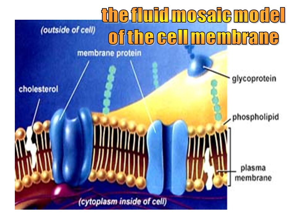 the fluid mosaic model of the cell membrane