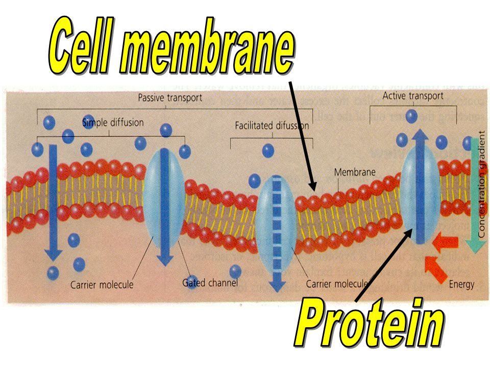 Cell membrane Protein