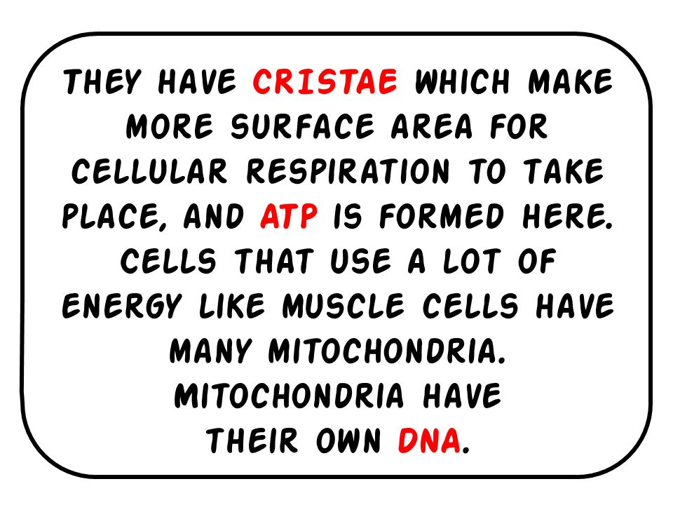 They have CRISTAE which make more surface area for cellular respiration to take place, and ATP is formed here. Cells that use a lot of energy like muscle cells have many mitochondria. Mitochondria have