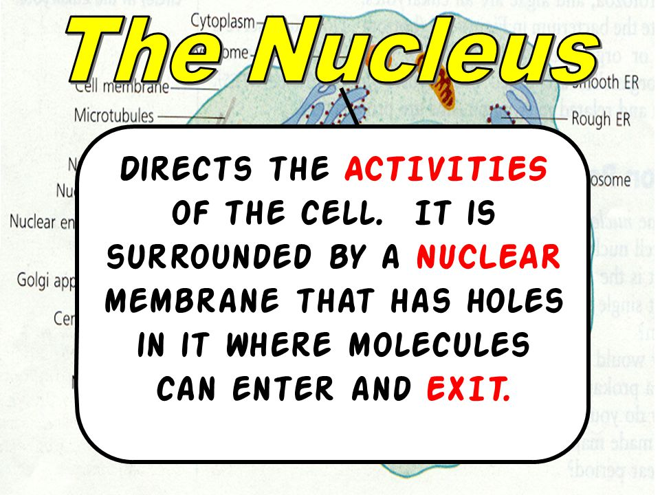 The Nucleus Directs the ACTIVITIES of the cell.