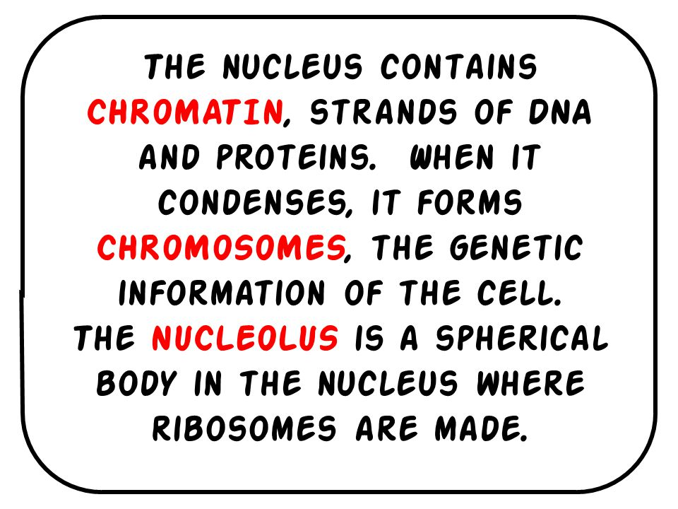 The nucleus contains CHROMATIN, strands of DNA and proteins